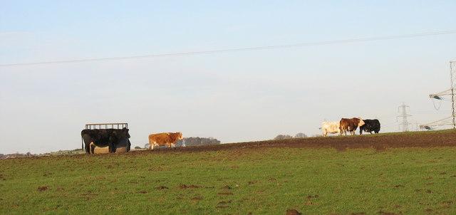 Cattle at Fferm Cefn Llwyd
