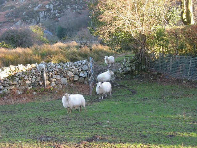 Sheep at Bwlch above the village of Cwm-y-glo
