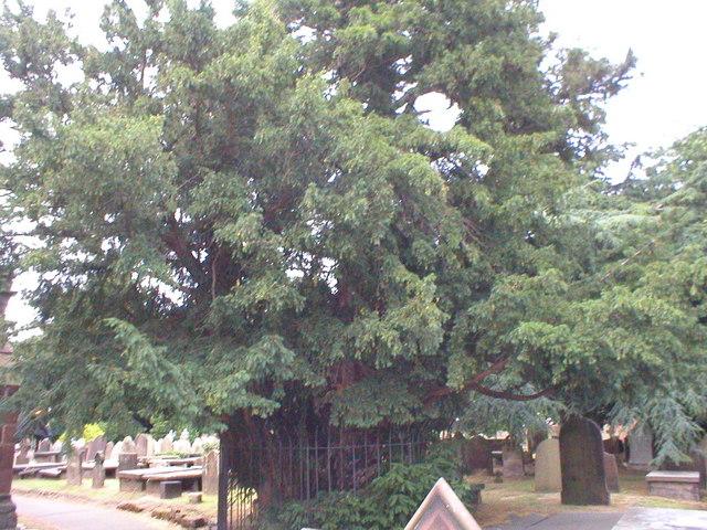 St Marys church yew tree.