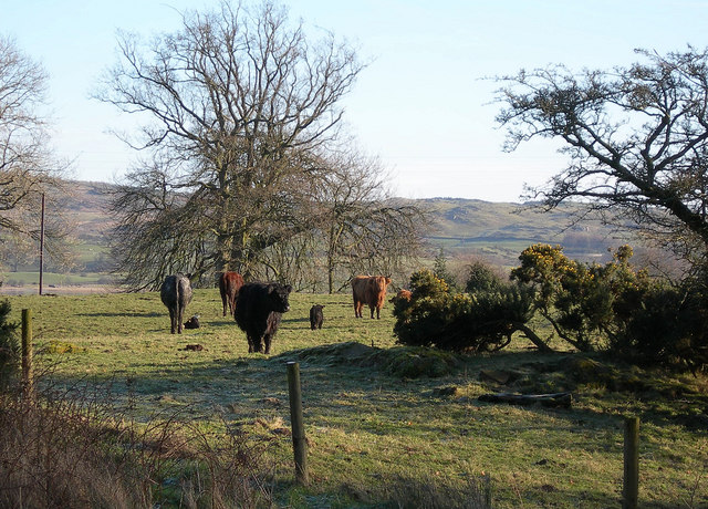 Beef Cattle at Duchrae Mains