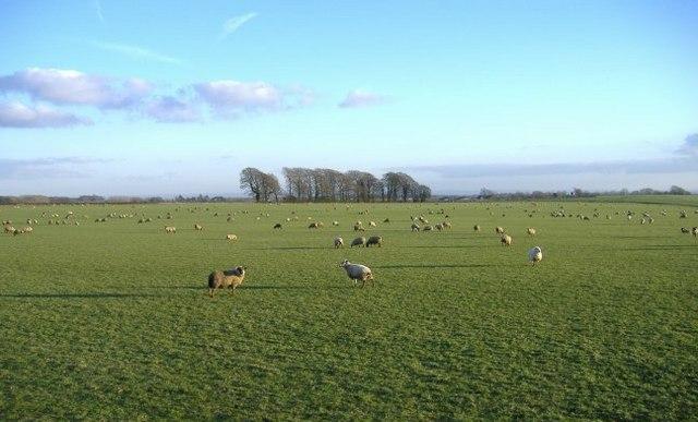 Fat, fifty-fold flock, forage flat farm field