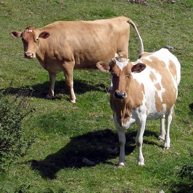 Cows, Tredinney
