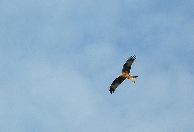 Red Kite at Bellymack Hill