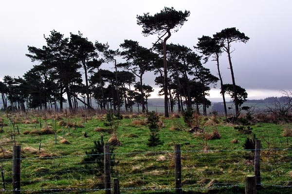 Pines above Downes's Dingle