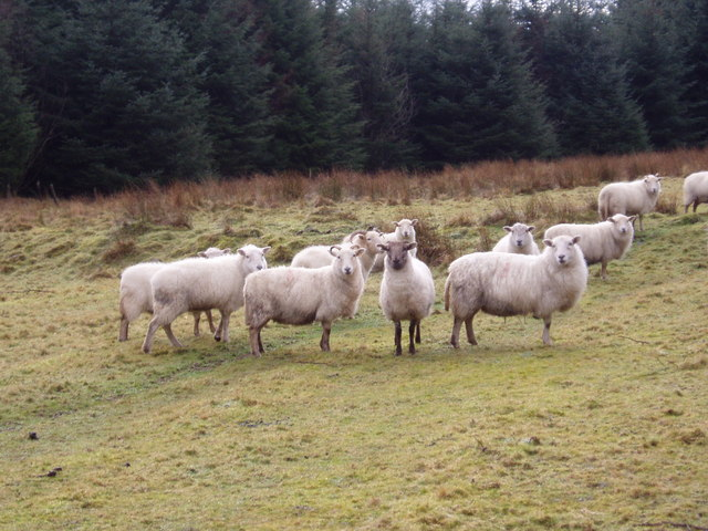 Sheep in the Forest