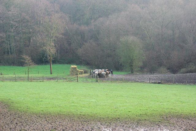 Cows on Railway