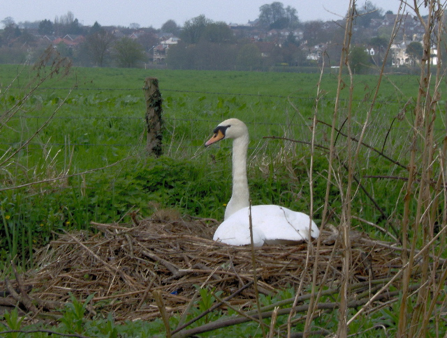 Swan on nest, Sudbury Common Lands