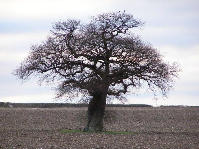 The Ovington Gospel Oak in winter, Gander Down