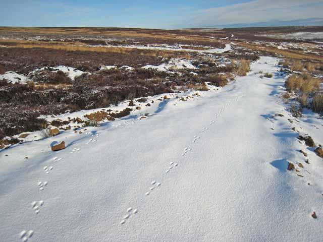 Tracks in the snow, Wolsingham Park Moor