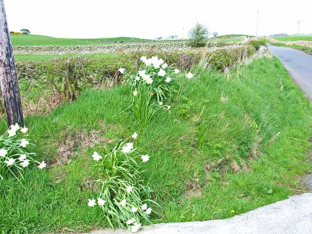 Roadside daffodils, Ballaird