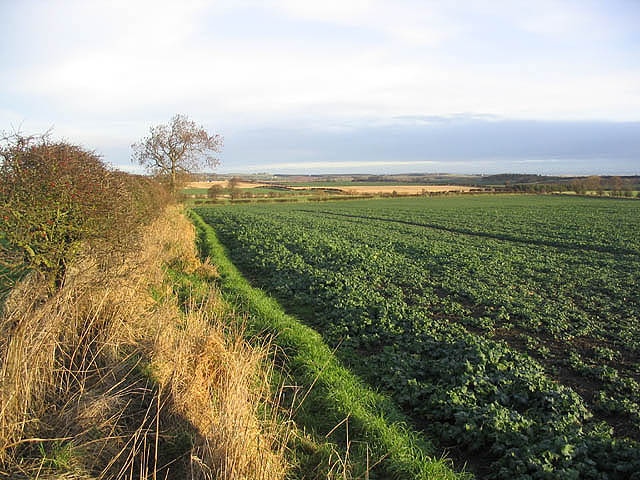 Turnip field
