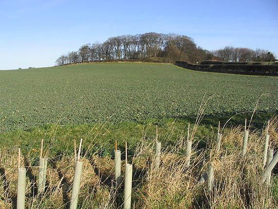 Turnip field at Cross Hill