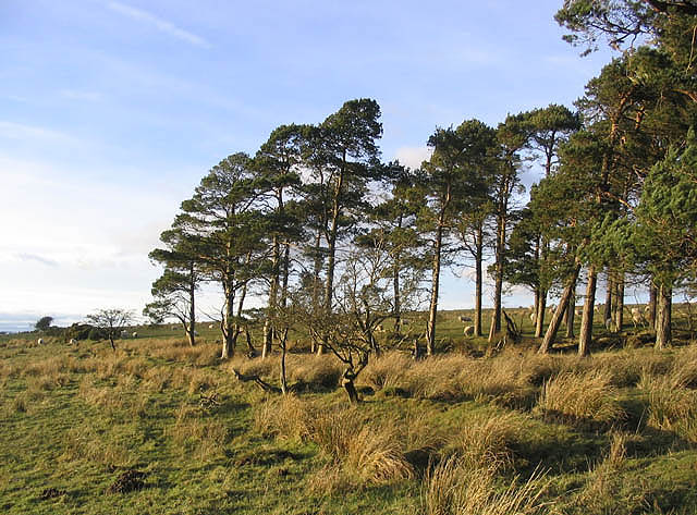 Pine trees on Eglingham Moor