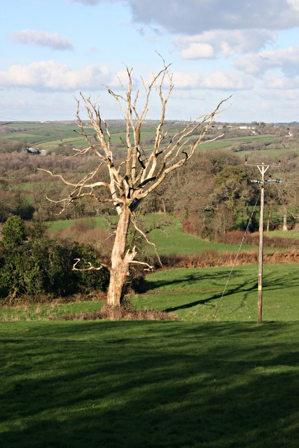 Dead Tree in Pasture Land