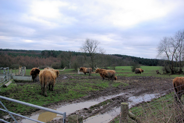 Unusual Cattle for Kent