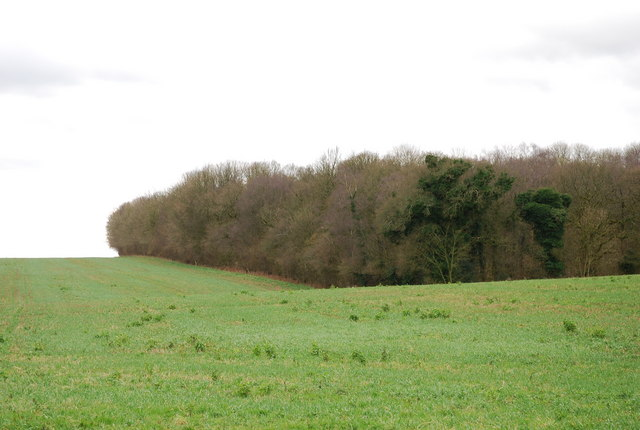 Holly coppice