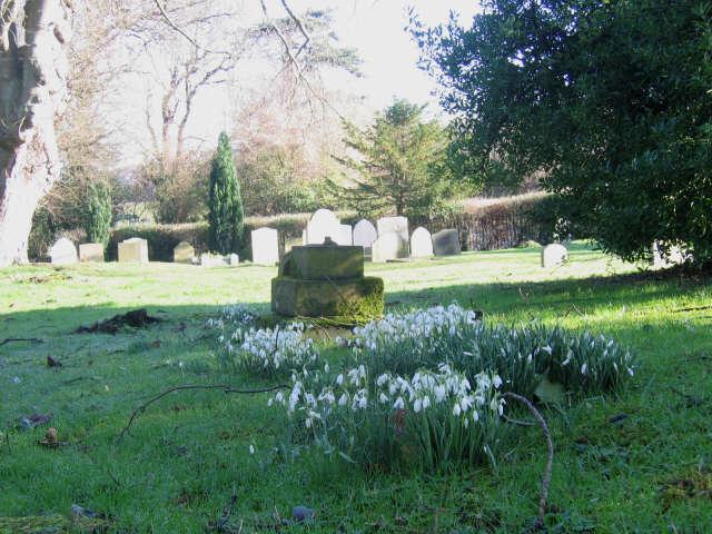 Snowdrops in Luddesdown churchyard