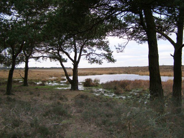 Beneath the pines at Stonyford Pond, New Forest