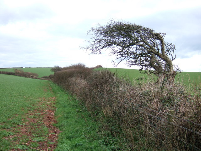 Windshaped hawthorn and hedge above Bolberry