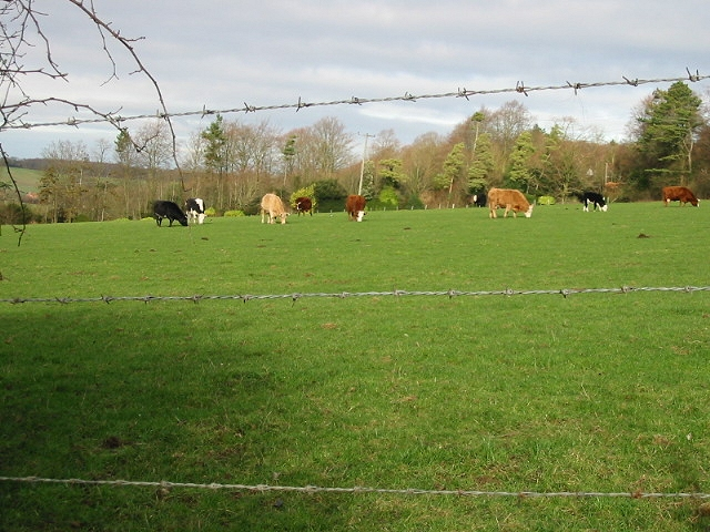 Grazing cattle from Woodgate.