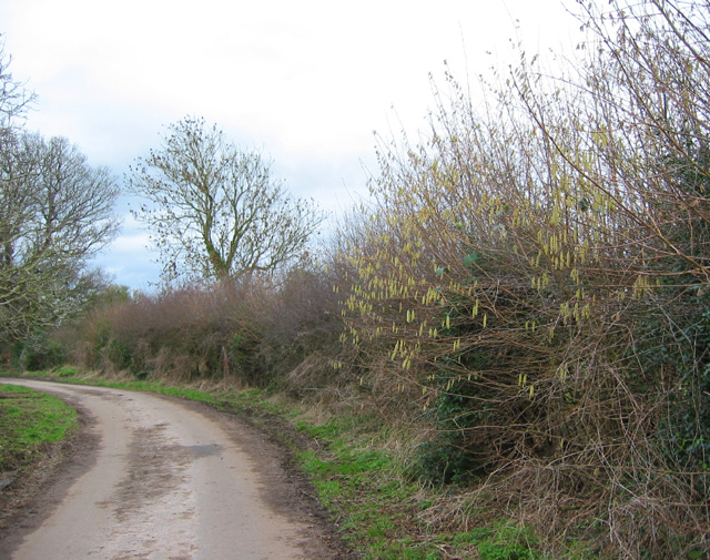 Hazel catkins by the lane to Bradley Brook