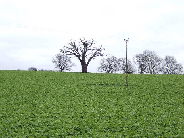 Dead tree in a field of young rape.
