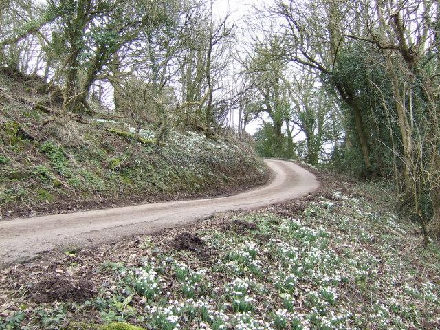 Snowdrops on Craig-y-dorth Hill