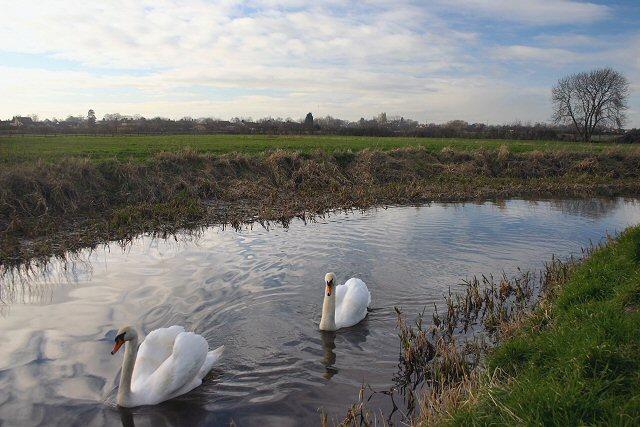 Soham swans