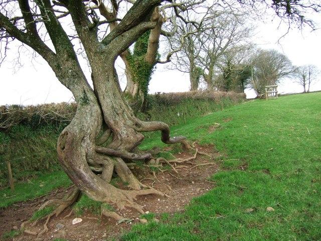 Twisted hawthorn near Hurdwick Farm