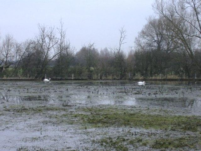 Swans at Waterhay