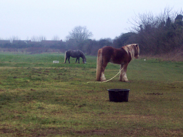 Ponies Tethered by Hedgerow near Odstock Hospital