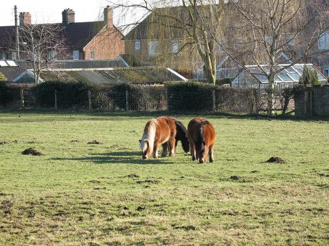 Shetland Ponies Topcliffe