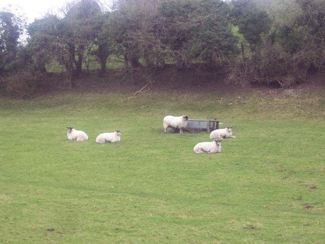 Sheep near Chalk Pyt Farm