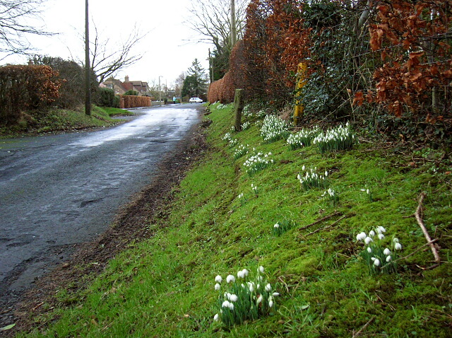 Snowdrops in Symington