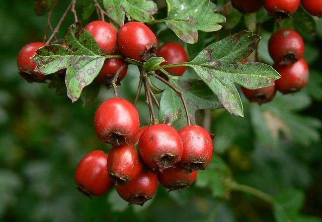 Hawthorn berries, Postern Hill, Savernake Forest