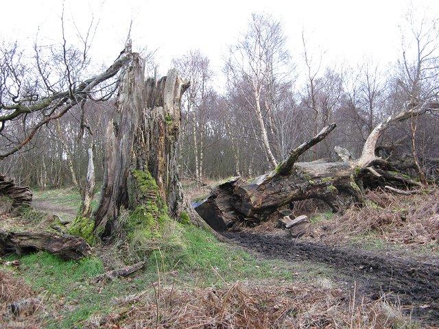 Fallen beech, Calder Wood