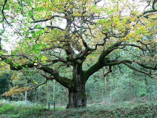 White Road Oak, Savernake Forest, Marlborough