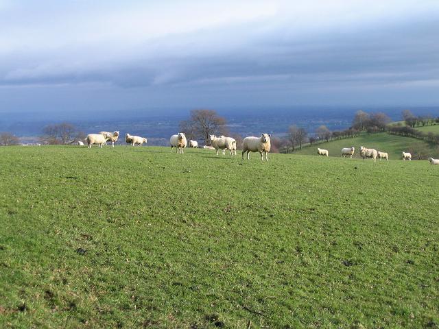 Sheep, Bronygarth
