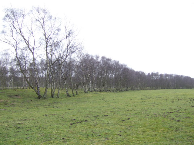 Row of birches off the Black Bank