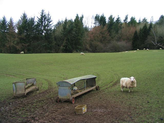 Sheep near Baker's Hill