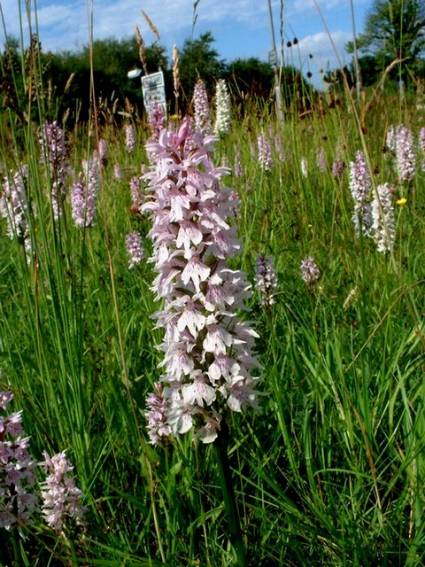 Orchids on a managed traffic island.