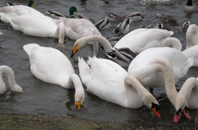 Feeding Time at the Whooper Pond