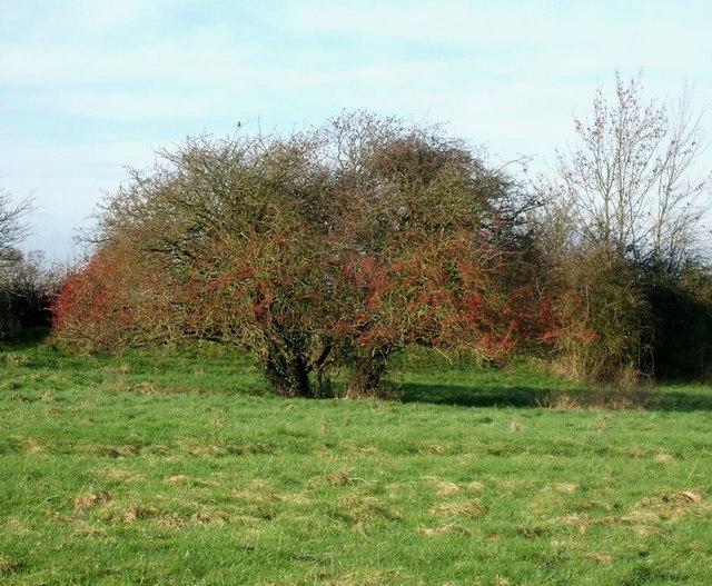 Hawthorn Tree in marshy field
