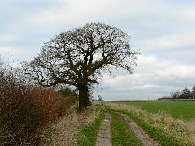 Tree on footpath, Salthrop near Swindon