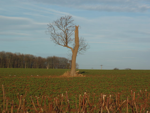 Solitary Tree in and Arable Field, Leys Lane, Boston Spa