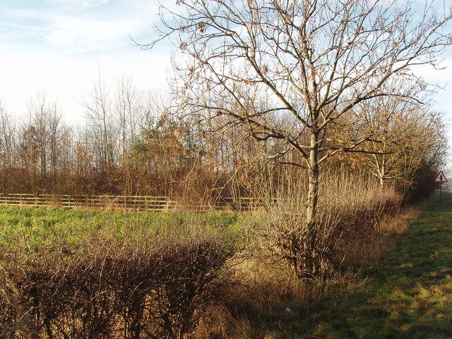 Roadside Hedge near Bickerton
