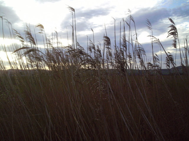 Roadside Reeds in the Carse of Gowrie