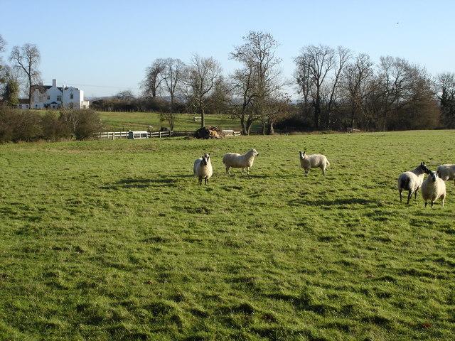 Sheep near Twyning Park