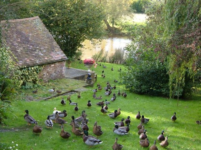 River severn ducks