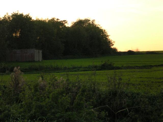 Pheasants at sunset.